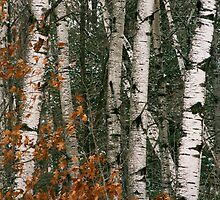 White Aspen trees-in Itasca State park by Cushman