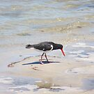 Pied Oystercatcher  by Virginia McGowan