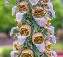 Grecian Foxglove by Kenneth Keifer