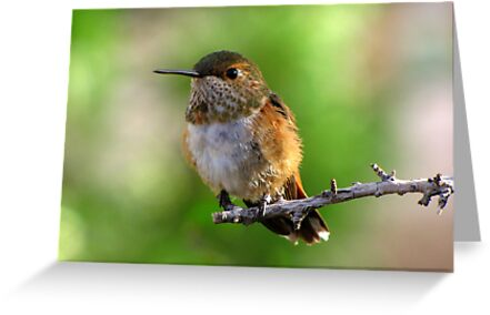 Rufous Hummingbird ~ Female by Kimberly P-Chadwick