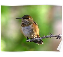 Rufous Hummingbird ~ Female Poster