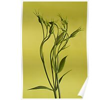 Lisianthus Buds Poster