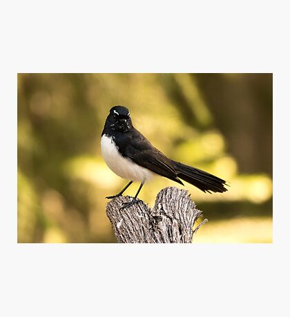 Proud Willy Wagtail Photographic Print