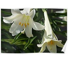 Trumpet Lily / Easter Lily Poster
