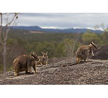 Rock Wallabies  Photographic Print