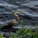 Great blue heron by LudaNayvelt