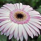 Pink Gerbera by Karen Duffy