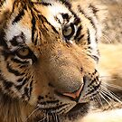 Harbin Tiger by Stephen Greaves