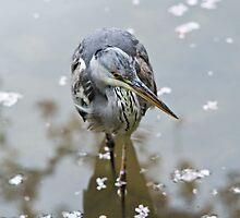 Grey heron and cherry blossom by Alex Ramsay