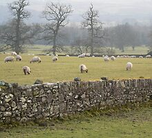 Sheep Grazing Safely,Curraghmore,Co.Waterford. by Pat Duggan