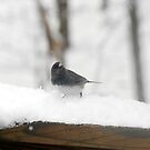 Junco by Anne Smyth