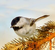 Chickadee on Fir by Elaine  Manley