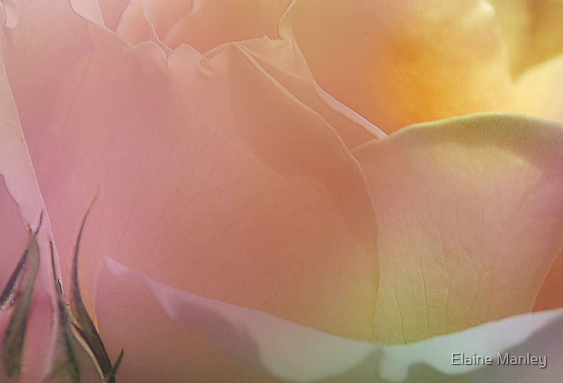 Touch of a Rose  by Elaine  Manley