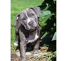 Gorgeous Baby Pitbull Puppy Dog (Head Tilted) Photographic Print