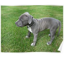 Gorgeous Baby, Blue Pit Bull Puppy Dog With Wrinkles Poster