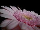 Pink Gerbera by rhian mountjoy
