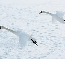 Snow Swans by barryforbes69