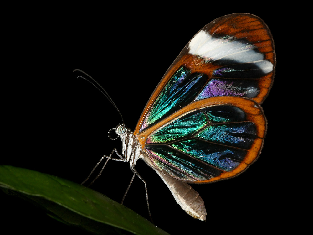 The Glasswing by barryforbes69