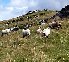 Sheep on Valentia Island, Co. Kerry, Ireland by Richard Waldron