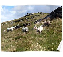 Sheep on Valentia Island, Co. Kerry, Ireland Poster
