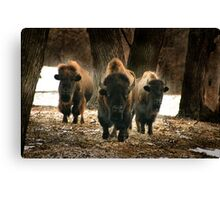Squoia the top bull Canvas Print