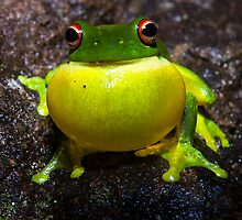 Red Eyed Tree Frog by D Byrne