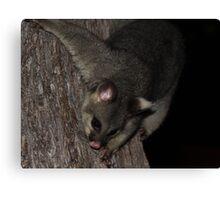 Possum Tree Climb Canvas Print