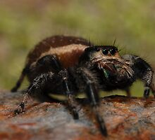 Regal Jumping Spider by Michael L Dye