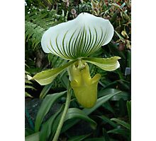 Green & White paphiopedilum Photographic Print