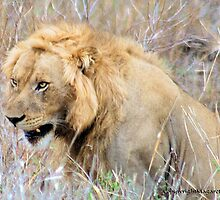 THE INCREDIBLE FORCE OF RESPECT - THE LION  - *Panthera leo* by Magriet Meintjes