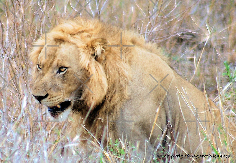 THE INCREDIBLE FORCE OF RESPECT - THE LION  - *Panthera leo* by Magaret Meintjes