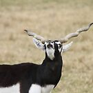Blackbuck Bleats by Terence Russell