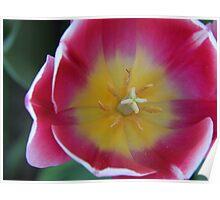 Tulip Sun Poster