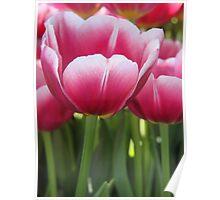 Tulip Bright Poster