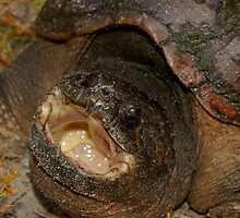 Florida Snapping Turtle by Michael L Dye