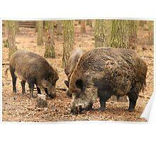 Boar Family Poster