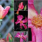 "Rosa ""Mutabilis"" by Julie Sherlock"