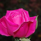 Rose by Kerry  Hill