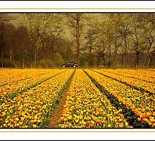 Fields of Tulip by satwant