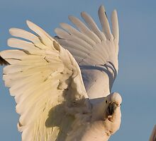 The Sulpher Crested Cockatoo by neilus