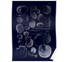 Manual of the New Zealand Mollusca by Henry Sutter 1915 0213 AngasDacrydium Inverted Poster