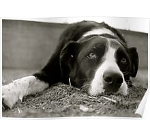 Tired pooch Poster
