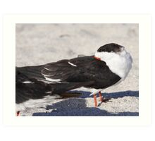 Black Skimmer Art Print