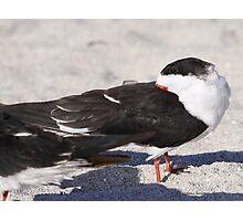 Black Skimmer Photographic Print