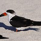 Black Skimmer by Dennis Cheeseman