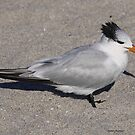 Royal Tern by Dennis Cheeseman