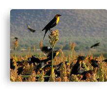 Yellow-headed Blackbirds Canvas Print