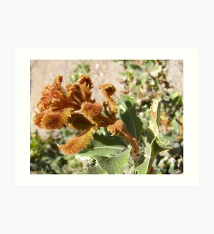FEATHER DUSTER! new growth on Banksia Art Print