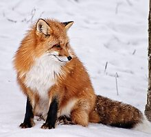 Red fox - Parc Omega, Montebello, PQ by Tracey  Dryka