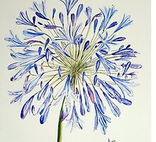 Isles of Scilly 'Agapanthus' by ScillyDreamer